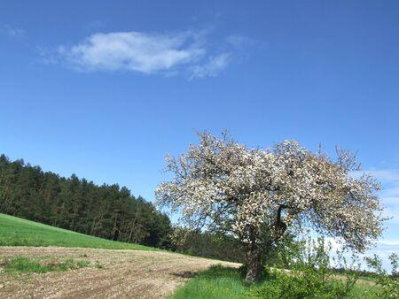 ablooming: Fioritura mela in primavera Archivio Fotografico