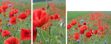ablooming: poppy field