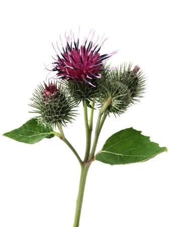 burdock: Burdock  arctium lappa  Stock Photo