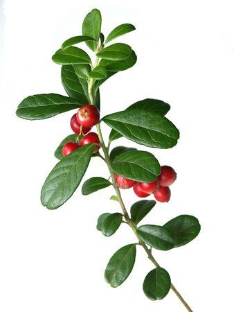 Lingonberry  Vaccinium vitis-idaea