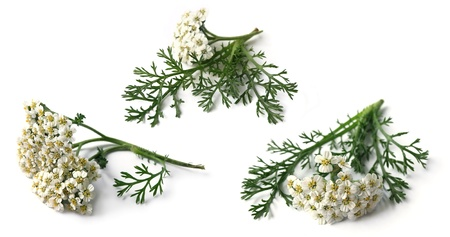 Yarrow  Achillea Millefolium  Stock Photo - 15736217