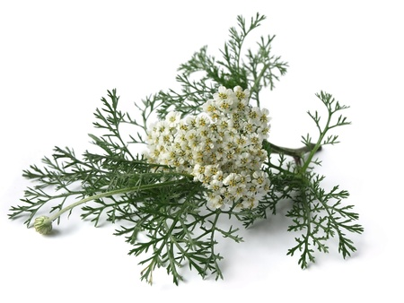 Yarrow  Achillea Millefolium  photo
