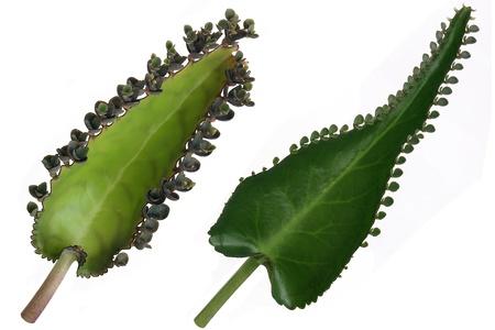 miracle leaf: Air Plant  Kalanchoe pinnata
