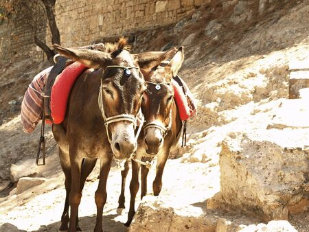 Donkeys used to transport tourists to the Acropolis in Lindos, Rhodes, Greece