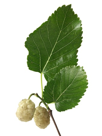 White Mulberry  Morus alba  photo