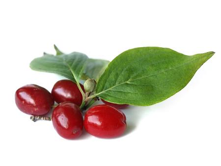 Cornelian cherry  Cornus mas