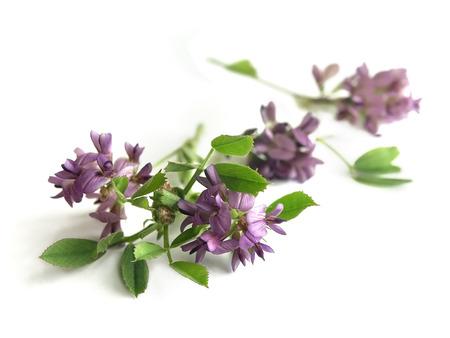 isolated flower: Alfalfa Medicago sativa