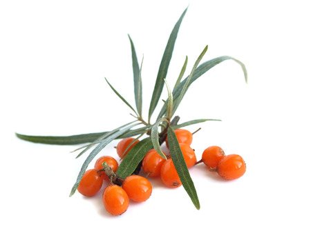 seabuckthorn: Common sea-buckthorn Hippophae rhamnoides