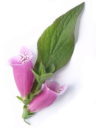 Common foxglove Digitalis purpurea