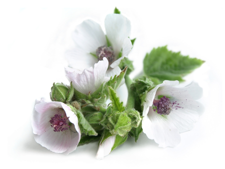 marsh plant: Marsh mallow (Althaea officinalis)