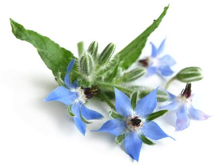 Borage (Borago officinalis)