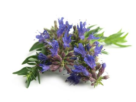 Hyssop (Hyssopus officinalis) Stock Photo