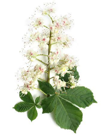 Aesculus (Aesculus hippocastanum)