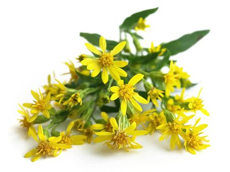 European goldenrod (Solidago virgaurea)