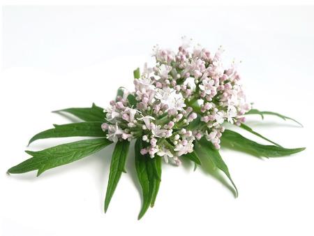 Valerian (Valeriana officinalis) Stock Photo