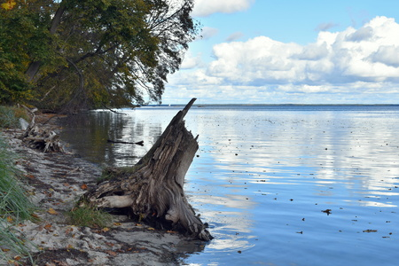 Trees and a huge dead tree stump left on the beach. Leaves in the water. Nature landscape. Baltic Sea Coast. Poland.