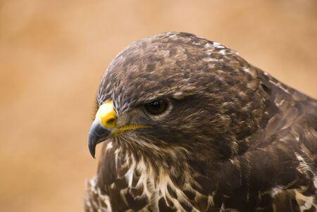 Saker Falcon - picture detail predatory bird head (portraits)  photo
