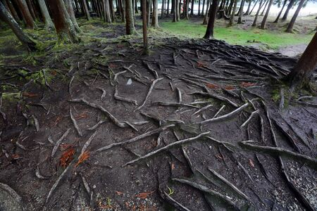 The exposed roots of ancient trees on the island of San Miguelin the Portuguese Azores