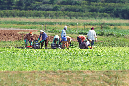 Rome, Italy, - july 25, 2016: Seasonal agricultural field workers cut and package lettuce, directly in the fields, ready for shipping.