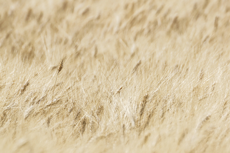 businesscard: Blurry wheat field, abstract background . nature composition