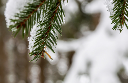 Branches of pine tree with snow Stock Photo