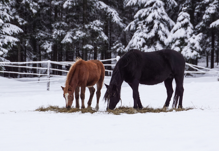 Free beautiful brown horse enjoys snow and sun in winter