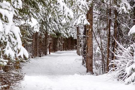 Footpath in pine winter wood