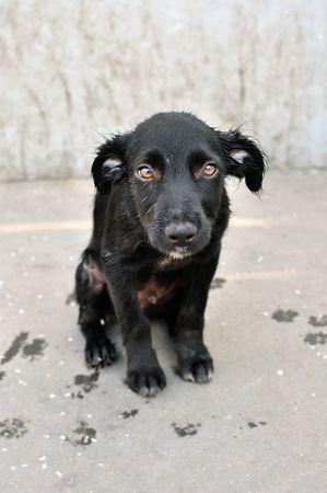 perro asustado: Abandonados, los j�venes asustados perro negro, solo en la calle.