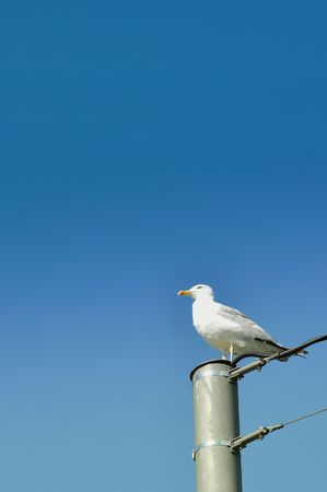 metal post: Beautifull seagull on a grey metal post, clear blue sky in the background