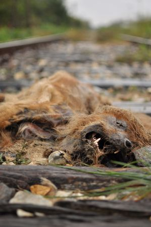 dead dog: photo of a dead dog laying on the railway tracks, hit by a train.