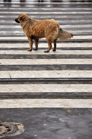 sprawled: Alone yellow dog in the middle of the street with no dog tag. Stock Photo
