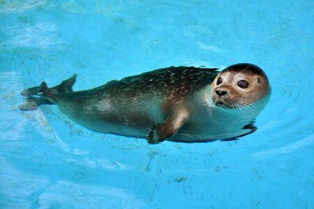 'black sea': Beautiful young seal swimming in the pool