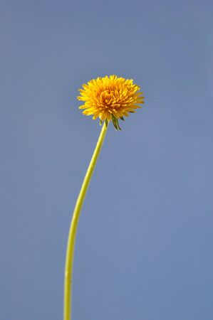 Close up of a dandelion flower, spring season. photo