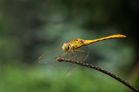 sympetrum: Close up image of a huge Southern darter (Sympetrum meridionale)