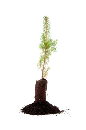 A small evergreen tree in soil, over a white background Stock Photo - 8345390