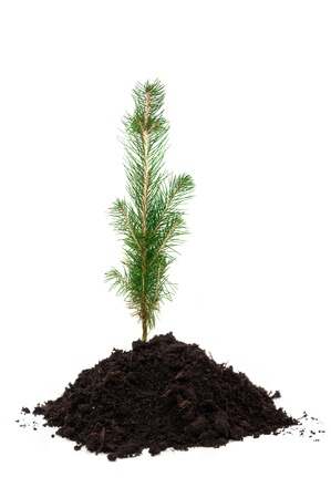 A small evergreen tree in soil, over a white background Stock Photo - 8521982