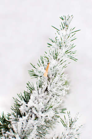 ponderosa: Pine tree covered with frost and snow