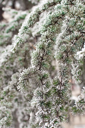 Pine tree covered with frost and snow Stock Photo - 8546366