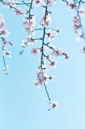 early blossoms: Pink cherry blossoms on a softly blurred background