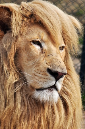 Close up portrait of a white lion male animal. Stock Photo - 9256929