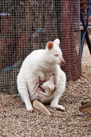 White albino wallaby with baby in pouch photo