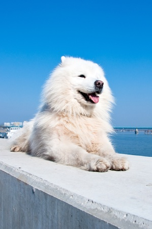 eskimo: American eskimo dog, white samoyed, against blue sky in the back.