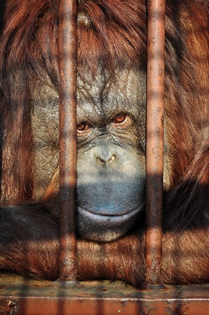utang: Close up portrait of an orang-utan behing the bars in the zoo with the sad look in his eyes.
