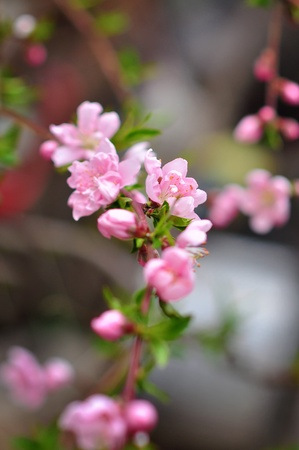 Pink cherry blossoms on a softly blurred background Stock Photo - 9315572