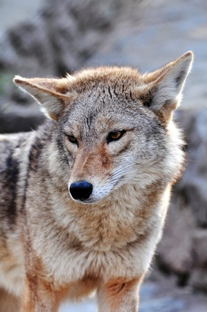 coyote: A close up, outdoor portrait of a gray coyote dog.