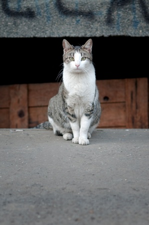 Large stray cat at the street in natural surroundings. Stock Photo - 9377214