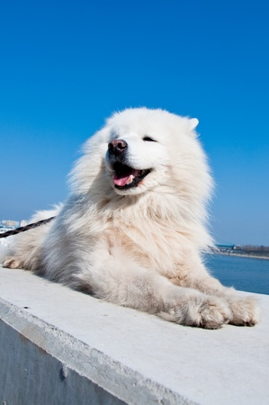 American eskimo dog, white samoyed, against blue sky in the back. photo