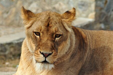 Close up portrait of a white lioness Stock Photo - 9377237