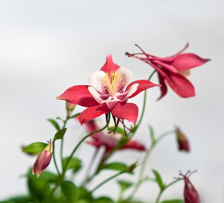Pink flowers of aquilegia origami, shallow depth of field