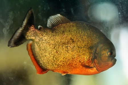 pirana: Piranha in a planted aquarium, low light conditions Stock Photo